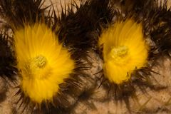 关闭仙人掌花Echinocactus grusonii 免版税库存照片