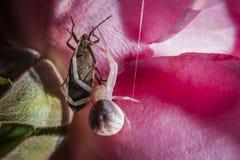 关闭赴宴在臭虫的蜘蛛 免版税图库摄影