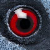 关闭维多利亚加冠了鸽子的眼睛 免版税库存图片