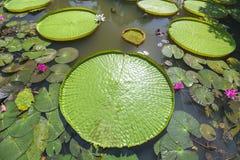 关闭维多利亚amazonica在池塘 库存照片