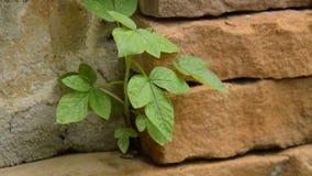 关闭从孔的一点植物生长在高明的砖专栏打击通过温和的风和迅速移动  股票录像