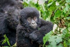 关闭婴孩山地大猩猩 免版税图库摄影