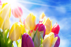 关闭晴朗的郁金香花草甸蓝天和Bokeh作用 免版税图库摄影