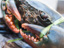 关闭从泰国湾的新鲜的海螃蟹 库存照片