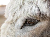 关闭驴眼睛 免版税图库摄影