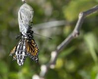 关闭黑脉金斑蝶涌现的茧 免版税库存图片