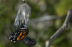 关闭黑脉金斑蝶涌现的茧 库存图片