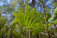 关闭绿色叶子在英国森林里在夏天 库存图片