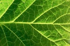 关闭绿色叶子纹理 免版税库存照片