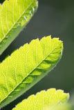关闭绿色叶子细节 库存照片