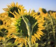 关闭黄色向日葵背面图在农业领域的 免版税库存图片