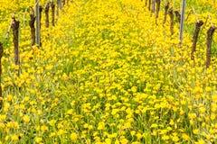 关闭黄色土耳其郁金香由老藤在葡萄园里 免版税库存照片