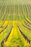 关闭黄色土耳其郁金香由老藤在葡萄园里 免版税图库摄影