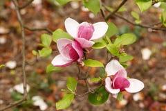 关闭紫色开花的木兰 与美丽的大桃红色花的开花的木兰树在春天 库存图片