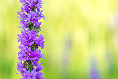 关闭紫色明尼苏达野花 免版税库存照片