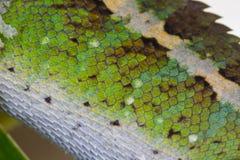 关闭绿色有顶饰蜥蜴皮肤  库存照片