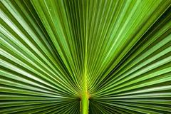 关闭绿色棕榈叶纹理  库存照片