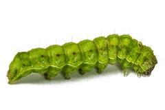 关闭绿色毛虫,隔绝在白色 免版税库存图片