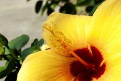 关闭黄色汉语在庭院里上升了 免版税库存图片
