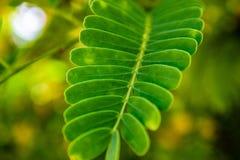 关闭绿色罗望子树叶子样式 免版税库存照片