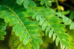 关闭绿色罗望子树叶子样式 免版税库存图片
