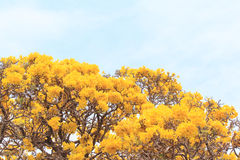 关闭黄色花开花在天空背景的春天 免版税库存图片
