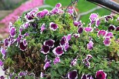 关闭紫色花看法与白色边界的 免版税库存图片