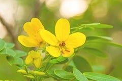 关闭黄色花美国桂皮或金黄奇迹 库存图片