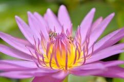 关闭紫色莲花和蜂 免版税库存照片
