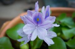 关闭紫色莲花 库存照片