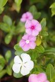 关闭紫色长春花属roseus花看法  库存照片