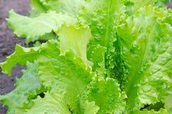 关闭绿色莴苣 健康生活方式和节食的概念 免版税图库摄影