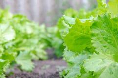 关闭绿色莴苣 健康生活方式和节食的概念 免版税库存照片