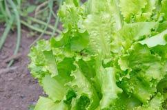 关闭绿色莴苣 健康生活方式和节食的概念 库存图片
