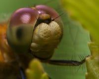 关闭蜻蜓面孔画象  免版税图库摄影