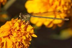 关闭蜻蜓 免版税图库摄影