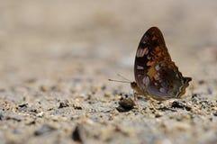 关闭蝴蝶(瘪三)在地面上 免版税库存照片