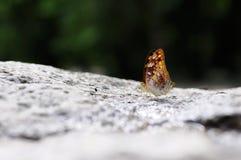关闭蝴蝶(瘪三) 图库摄影