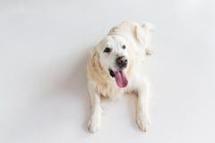 关闭说谎在地板上的金毛猎犬狗 免版税图库摄影