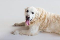 关闭说谎在地板上的金毛猎犬狗 免版税库存图片