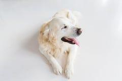 关闭说谎在地板上的金毛猎犬狗 库存图片