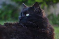 关闭说谎在庭院的厚实的长的头发黑色尚蒂伊蒂凡尼猫 与惊人的大嫉妒的肥胖雄猫 免版税图库摄影