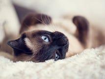 关闭说谎在蓬松格子花呢披肩的一只逗人喜爱的蓝眼睛的暹罗猫 图库摄影