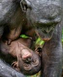 关闭画象倭黑猩猩母亲和Cub  免版税库存图片