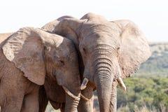 关闭-非洲人布什大象 免版税库存照片