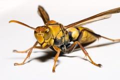 关闭类Polistes家庭胡蜂科的纸质黄蜂, 免版税库存照片