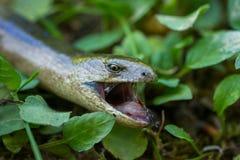 关闭Anguis脆弱类在自然生态环境, 免版税库存图片