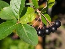 关闭Aronia莓果Aronia melanocarpa,黑堂梨属灌木 免版税库存图片