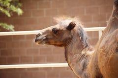 关闭Bactrian两流洒外套,头发的小丘骆驼 骆驼属bactrianus 砖墙在背景中 库存图片