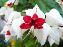 关闭Bagflower, Clerodendrum thomsoniae 库存图片